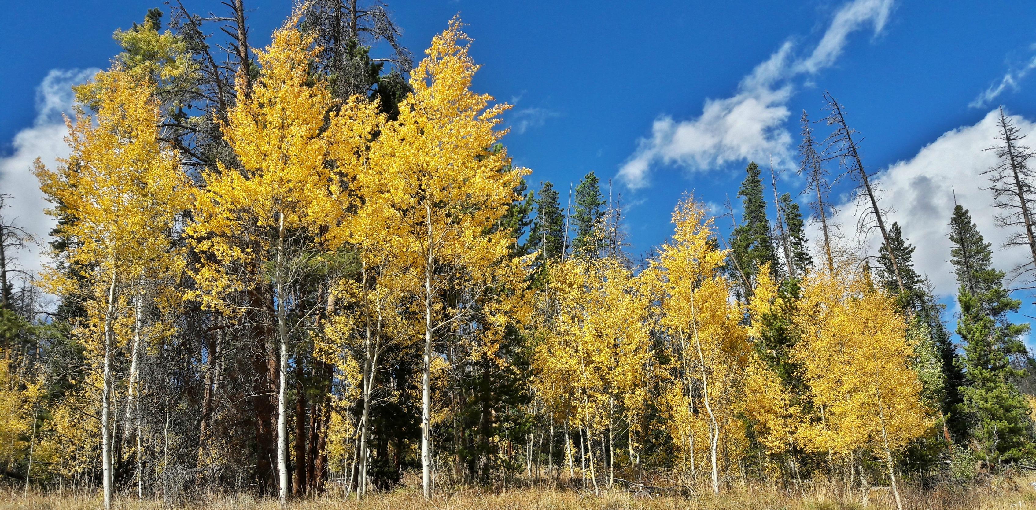 Colorado Aspens // lynnepetre.com